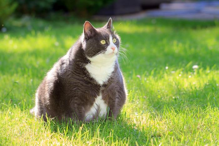 La obesidad en los gatos