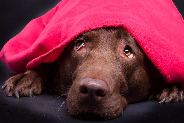 Nuevo tratamiento dirigido a frenar el miedo de los perros a los ruidos fuertes